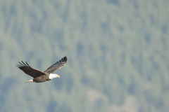 在柔光的白头鹰 免版税图库摄影