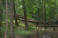 在柔和的上升堆的翻滚的,被摧毁的树在有富有的叶子的一片绿色温带林中间 免版税库存照片