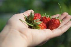 在柔和的妇女的手上的水多的红色草莓 免版税库存照片