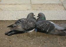 在柔和的拥抱的两只爱恋的鸠 免版税库存照片