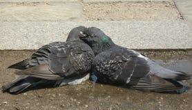在柔和的拥抱的两只爱恋的鸠 库存照片