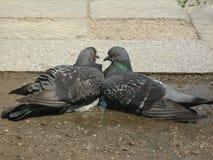 在柔和的拥抱的两只爱恋的鸠 免版税库存图片