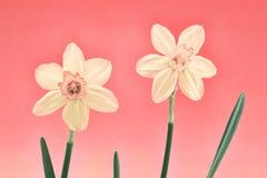 在柔和的淡色彩的黄水仙对 库存照片