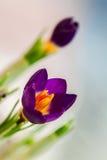 在柔和的背景的特写镜头番红花与真正的反射光,真正的中间影调 春天,秀丽的概念本质上 免版税库存照片