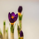 在柔和的背景的特写镜头番红花与真正的反射光,真正的梯度 春天,秀丽的概念本质上 免版税库存图片