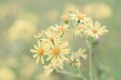 在柔和的背景的黄色野花 免版税库存图片