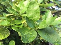 在柠檬叶子的小滴早晨 免版税图库摄影