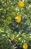 在柠檬树的三个柠檬 图库摄影
