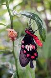 在柠檬树的红色和黑蝴蝶 图库摄影