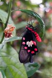 在柠檬树的红色和黑蝴蝶 免版税库存照片