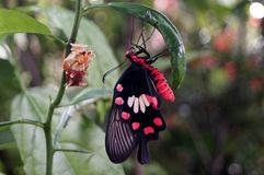 在柠檬树的美丽的蝴蝶 免版税库存照片