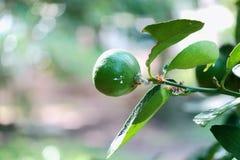 在柠檬树的蚂蚁 免版税图库摄影
