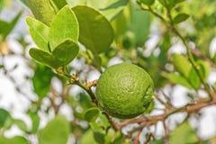 在柠檬树的绿色柠檬 免版税图库摄影