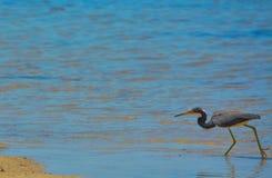 在柠檬海湾水生储备的一只鸟在雪松点环境公园,萨拉索塔县佛罗里达 图库摄影