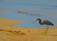 在柠檬海湾水生储备的一只鸟在雪松点环境公园,萨拉索塔县佛罗里达 库存图片