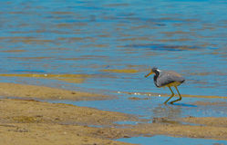 在柠檬海湾水生储备的一只鸟在雪松点环境公园,萨拉索塔县佛罗里达 免版税库存图片