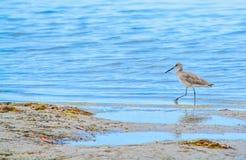 在柠檬海湾水生储备的一只鸟在雪松点环境公园,萨拉索塔县佛罗里达 免版税库存照片