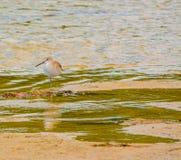 在柠檬海湾水生储备的一威利特Tringa semipalmata在雪松点环境公园,萨拉索塔县佛罗里达 库存照片