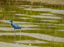 在柠檬海湾水生储备的小的蓝色苍鹭在雪松点环境公园,萨拉索塔县,佛罗里达 免版税库存照片