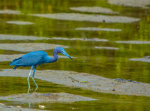 在柠檬海湾水生储备的小的蓝色苍鹭在雪松点环境公园,萨拉索塔县,佛罗里达 免版税库存图片