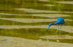 在柠檬海湾水生储备的小的蓝色苍鹭在雪松点环境公园,萨拉索塔县,佛罗里达 库存照片