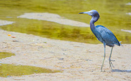 在柠檬海湾水生储备的小的蓝色苍鹭在雪松点环境公园,萨拉索塔县,佛罗里达 免版税图库摄影