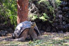 在查尔斯・达尔文研究工作站的加拉帕戈斯巨型草龟在S 免版税库存图片