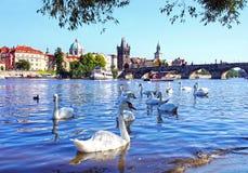 在查尔斯桥梁和天鹅的看法在伏尔塔瓦河河在布拉格 免版税图库摄影