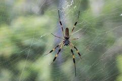 在查尔斯顿找到的网的可怕蜘蛛南卡罗来纳 免版税库存图片