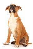 在查找小狗的可爱的拳击手之上 库存图片