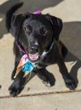在查寻的坐姿的女性黑拉布拉多猎犬混合 免版税库存照片
