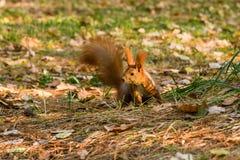 在查寻的快的灰鼠坚果 库存图片