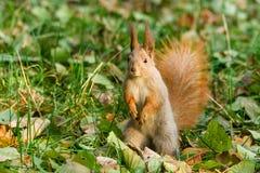 在查寻的快的灰鼠坚果 免版税图库摄影