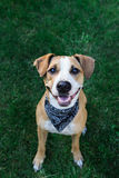 在查寻的班丹纳花绸的愉快的狗 图库摄影