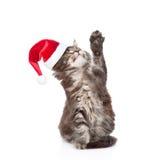 在查寻红色圣诞老人的帽子的嬉戏的猫 在白色backg 免版税库存照片