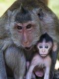 在柬埔寨的吴哥窟的母亲和婴孩长尾的短尾猿 免版税库存照片