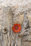在柱仙人掌死的树干的橙色仙人掌花  库存图片
