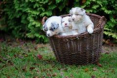 在柳条筐的三只治疗澳大利亚牧羊人小狗在庭院草 免版税图库摄影