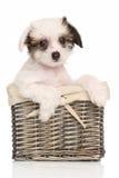 在柳条筐的中国有顶饰小狗 库存图片
