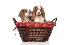在柳条筐的国王查尔斯狗小狗 免版税库存图片