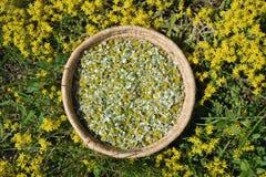 在柳条筐的春黄菊医疗头状花序 库存图片