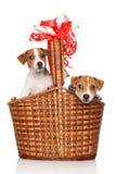在柳条筐的杰克罗素小狗 免版税库存图片