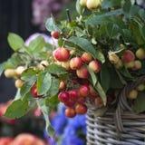 在柳条筐的法国产苹果树 免版税库存图片