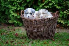 在柳条筐的澳大利亚牧羊人小狗在庭院草 免版税库存照片