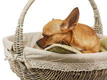 在柳条筐的睡觉红色奇瓦瓦狗狗。 免版税库存图片