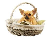 在柳条筐的红色奇瓦瓦狗狗 免版税库存照片