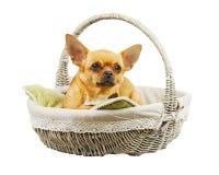 在柳条筐的红色奇瓦瓦狗狗 免版税库存图片