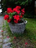在柳条筐的红色花 免版税库存照片
