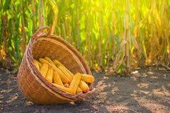 在柳条筐的被收获的玉米 库存图片