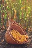 在柳条筐的被收获的玉米 库存照片